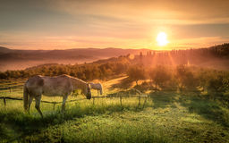 Cavalli selvaggii ed alba toscana Immagine Stock