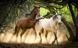 Cavalli selvaggii & x28; Mustang& x29; nel fiume Salt, l'Arizona Fotografia Stock Libera da Diritti