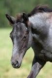 Cavalli selvaggii nel campo fotografia stock libera da diritti