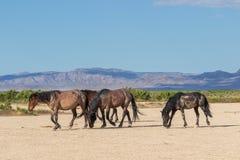 Cavalli selvaggii nel deserto fotografia stock