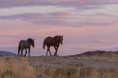 Cavalli selvaggii nel tramonto immagine stock