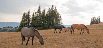 Cavalli selvaggii - piccolo gregge con il puledro del puledro del bambino che pasce al tramonto nella gamma del cavallo selvaggio Fotografie Stock