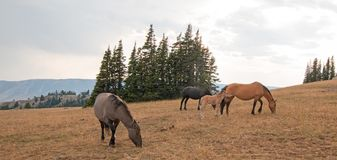 Cavalli selvaggii - piccolo gregge con il puledro del puledro del bambino che pasce al tramonto nella gamma del cavallo selvaggio Fotografia Stock Libera da Diritti
