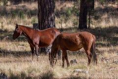Cavalli selvaggii in pini immagini stock libere da diritti