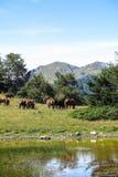 Cavalli selvaggii in Pirenei catalani, Spagna Immagine Stock