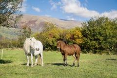 Cavalli selvaggii su un pascolo nella montagna di autunno Fotografia Stock Libera da Diritti
