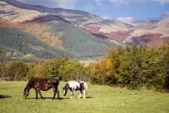 Cavalli selvaggii su un pascolo nella montagna di autunno Immagine Stock