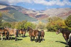 Cavalli selvaggii su un pascolo nella montagna di autunno Fotografie Stock Libere da Diritti
