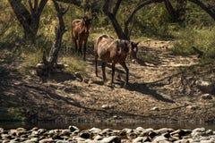Cavalli selvaggii sul fiume Salt, foresta nazionale di Tonto Immagini Stock