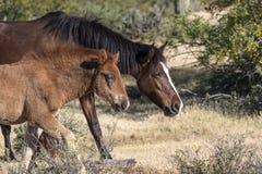 Cavalli selvaggii sul fiume Salt, foresta nazionale di Tonto Fotografia Stock