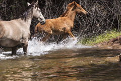Cavalli selvaggii sul fiume Salt, foresta nazionale di Tonto Immagini Stock Libere da Diritti