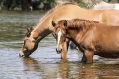 Cavalli selvaggii sul fiume Salt, foresta nazionale di Tonto Fotografie Stock