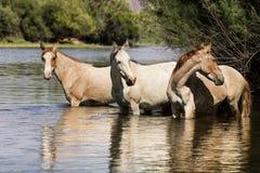 Cavalli selvaggii sul fiume Salt, foresta nazionale di Tonto Immagine Stock Libera da Diritti