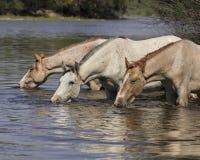 Cavalli selvaggii sul fiume Salt, foresta nazionale di Tonto Fotografie Stock Libere da Diritti