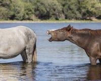 Cavalli selvaggii sul fiume Salt, foresta nazionale di Tonto Immagine Stock
