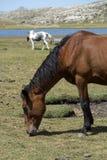 Cavalli selvaggii sul pascolo della montagna Fotografia Stock Libera da Diritti
