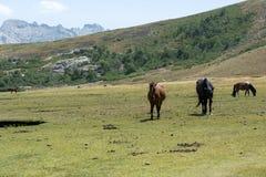 Cavalli selvaggii sul pascolo della montagna Immagine Stock