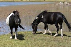 Cavalli selvaggii sul pascolo della montagna Immagini Stock Libere da Diritti