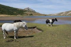 Cavalli selvaggii sul pascolo della montagna Fotografie Stock