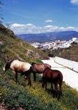 Cavalli selvaggii sul pendio di collina, Alora, Spagna. Immagini Stock