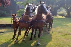 Cavalli sforzati Fotografia Stock Libera da Diritti