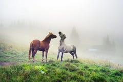 Cavalli, stalloni nella nebbia Fotografia Stock