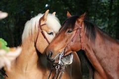 Cavalli stringenti a sé adorabili fotografia stock