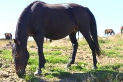 Cavalli su Autumn Caucasus Meadow Fotografia Stock Libera da Diritti