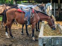 Cavalli su un'azienda agricola in Costa Rica fotografie stock