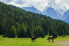 Cavalli su un campo Immagine Stock