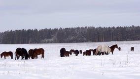 Cavalli su un campo nevoso stock footage