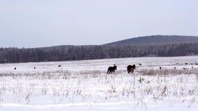 Cavalli su un campo nevoso archivi video