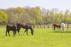 Cavalli su un pascolo della molla Fotografia Stock