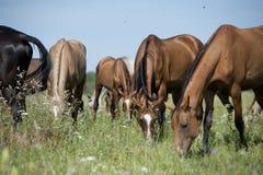 Cavalli su un pascolo di estate Fotografie Stock
