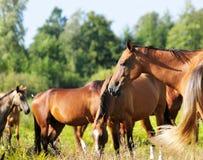 Cavalli su un pascolo di estate Fotografia Stock