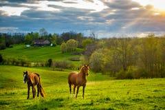 Cavalli su un pascolo nel Kentucky fotografia stock