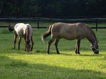 Cavalli su un prato Fotografia Stock Libera da Diritti