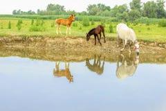Cavalli su un prato vicino ad acqua fotografia stock