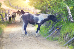 Cavalli su una strada campestre Fotografia Stock Libera da Diritti