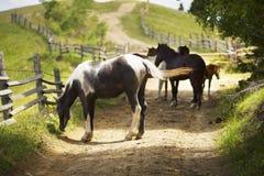 Cavalli su una strada campestre Immagini Stock Libere da Diritti