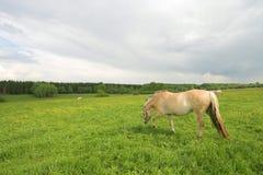 Cavalli sul campo Immagine Stock Libera da Diritti