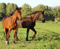Cavalli sul grasland Immagine Stock Libera da Diritti