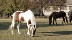 Cavalli sul pascolo divertente stock footage