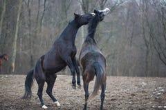 Cavalli sul prato Fotografia Stock