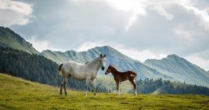 Cavalli sul prato fotografie stock
