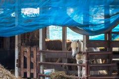 Cavalli sull'azienda agricola thailand fotografia stock libera da diritti