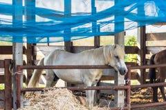Cavalli sull'azienda agricola thailand fotografia stock