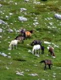 Cavalli sulla montagna. Immagini Stock