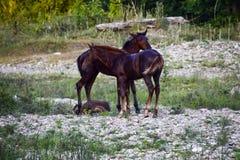 Cavalli sulla passeggiata al suolo pietrosa Gregge dei cavalli fotografie stock