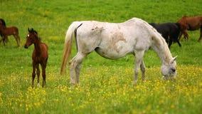 Cavalli svegli sul prato archivi video